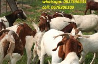 Cattles/Saanen,Boer,Kalahari etc goats
