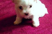 Cute Mini Maltese Puppies
