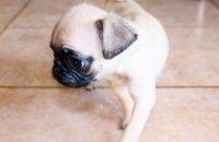 Baby pug puppies